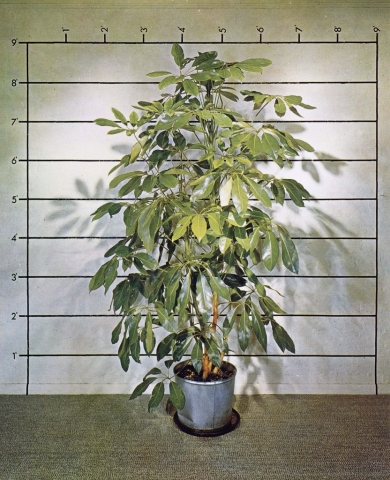 Mel Bochner, Measurement: Plant, 1969. Courtesy of the artist and Peter Freeman, Inc. , New York/Paris