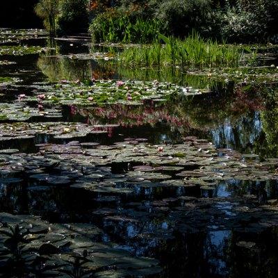 Mark E Fohl - Monet's Lilies
